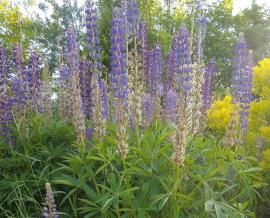Purple colored lupine in the museum garden - 2020