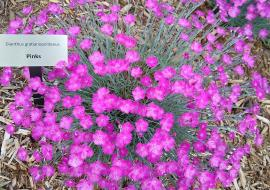 Pinks in museum garden - 2020