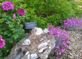 Sudbury breccia with roses and pinks in museum garden - 2020