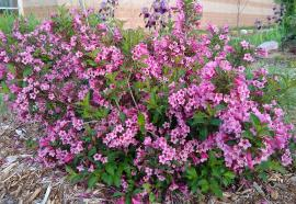 Weigela in the museum garden - 2020