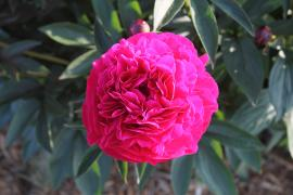 View of a single dark pink peony in the museum front garden - 2015